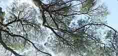 blackwood trees